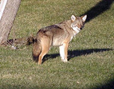 Coyote. Photo by Mia Lane of Demorestville