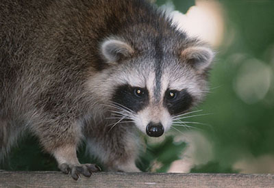 Raccoon. Photo by Peter Sporring of Belleville