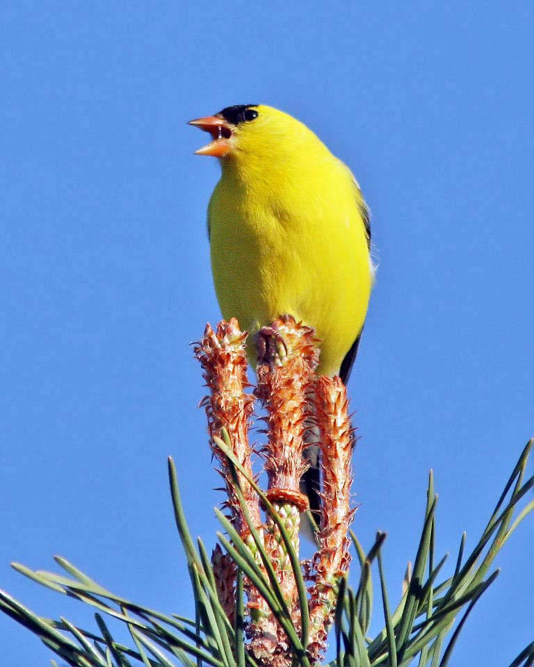 American Goldfinch, photo by Dave Bell of Belleville