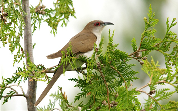 Black-billed Cuckoo. Photo by John Vieira
