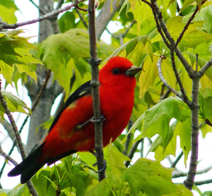 Scarlet Tanager. Photo by Rita Martin