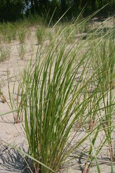 Marram Grass, photo by Terry Sprague